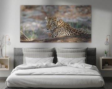 Leopard in Lauerstellung - Afrika wildlife von W. Woyke