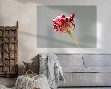 Old tulip van Je Lo