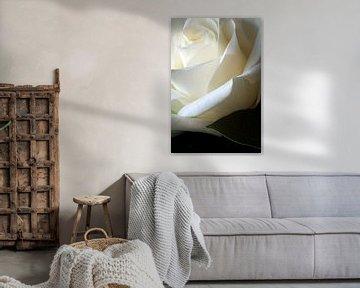 Rose blanche avec feuille sur Margot van den Berg