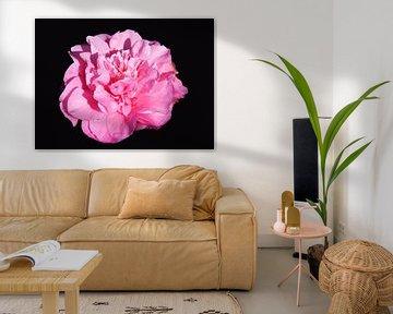 rose anjer op zwarte achtergrond von Compuinfoto .