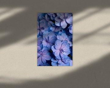 Blauw roze Hortensia van Margot van den Berg