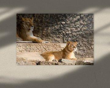 leeuwen  van Beer Foto
