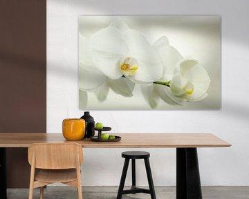 Tak van de witte bloemen van de orchidee Phalaenopsis von Hein Fleuren