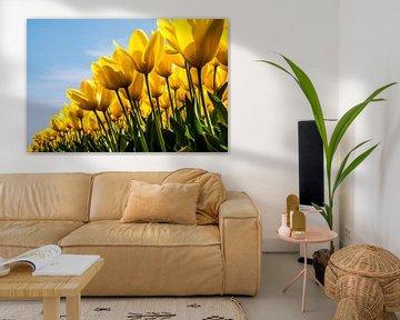 Veld gele tulpen