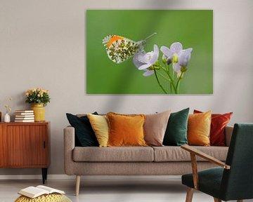 Oranjetipje op Pinksterbloem van Marnix Jonker