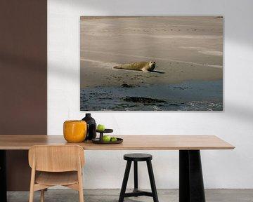 Zeehond op Ameland