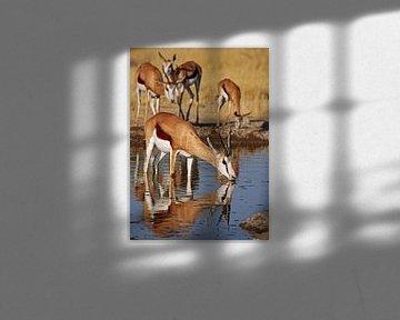 Drinking Springbok - Africa wildlife van W. Woyke