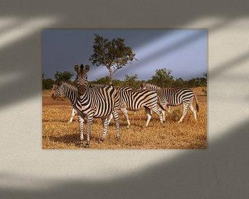 Zebras in Südafrika - Afrika wildlife sur W. Woyke
