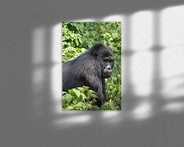 Gorillaportret van Frank Heinen