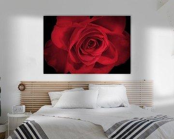 Rode roos op een zwarte achtergrond van Nannie van der Wal
