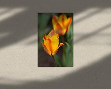 Tulpen von Ada Zyborowicz