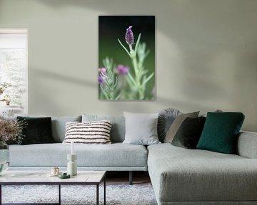 Lavendel van Meleah Fotografie