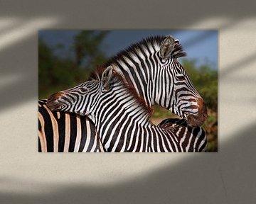 Liebevolle Zebras - Afrika wildlife von W. Woyke
