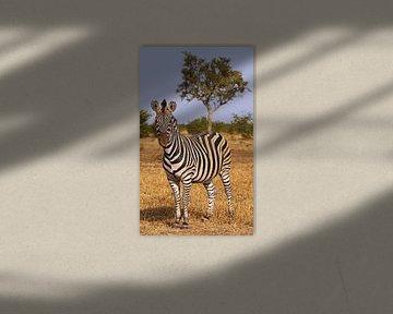 Zebra in Südafrika - Afrika wildlife von W. Woyke