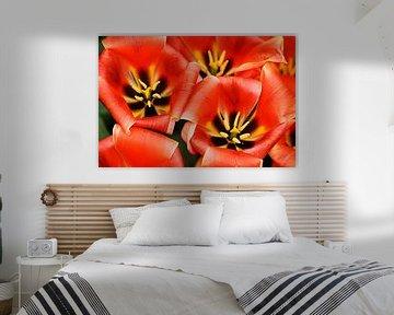 Tulipa Calypso van Albert van Dijk