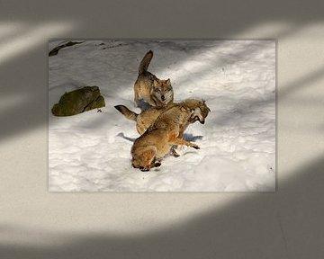 Vechtende wolven in de sneeuw van Antwan Janssen