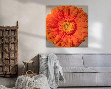 Gerbera oranje 3 van John Ouwens