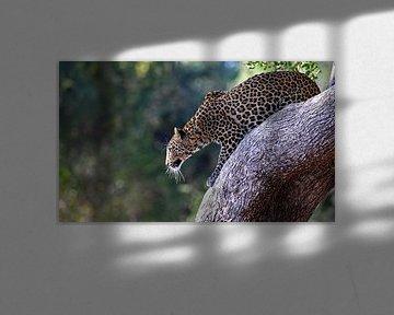 Sprungbereiter Leopard - Afrika wildlife von W. Woyke