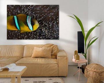 Clownfish in anemoon van Jan van Kemenade