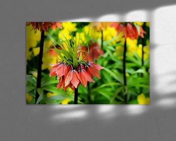 Fritillaria Vivaldi van Albert van Dijk