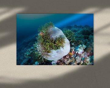 Anemoonvissen in opgerolde anemoon van Jan van Kemenade
