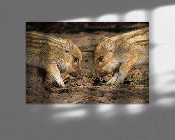 Jonge dieren | Wilde zwijnen biggen - Veluwe van Servan Ott