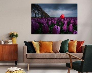 Rode tulp tussen paarse tulpen van Fotografiecor .nl