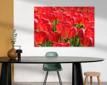 Rode tulpen in tegenlicht van Antwan Janssen