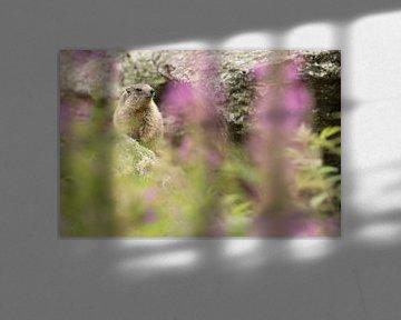 Marmot van Elles Rijsdijk