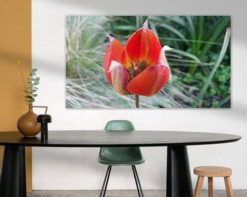rode tulp in bloei van Lucas Joël Smeenge
