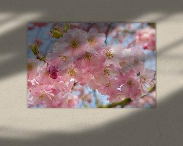 Rosa Frühlingsblüte von Michèle Huge