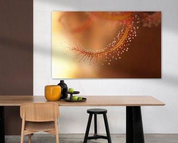 De prachtige Zonnedauw met ontelbare druppels van Birgitte Bergman