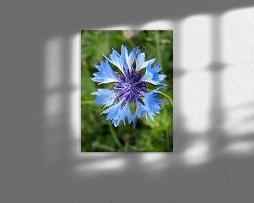 Blauwe korenbloem von richard de bruyn