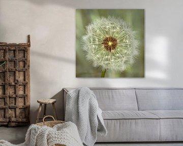 Löwenzahn Pusteblumen von Christa Thieme-Krus