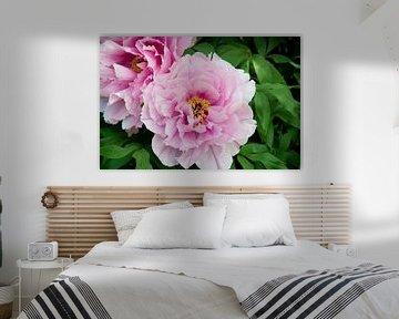 Macrofoto van een roze pioenroos van Thomas Poots