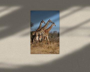 Trio Giraffen von Chris Gottenbos