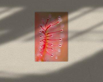 Close up van een blad van de Zonnedauw van Mark Scheper