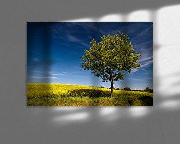 Ein Baum am Rapsfeld von Rico Ködder
