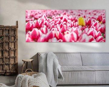 Gele tulp tussen roze tulpen panorama