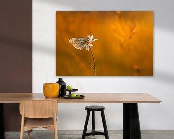 Vlinder in  het avondlicht, groot geaderd witje van Erwin Stevens
