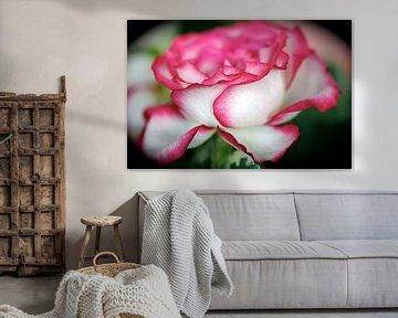 Roos met rose rand van Ina Hölzel