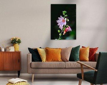 Lavatera in diverse stadia van bloei van Kees Martijn Nix
