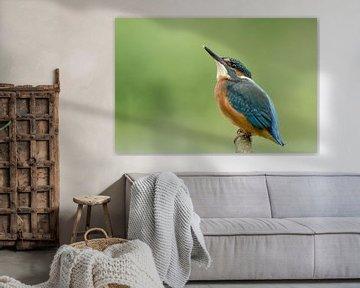 IJsvogel in paalhouding van Martin Bredewold