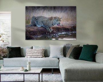 Leopard im Krügerpark in Südafrika von Hans Kluppel