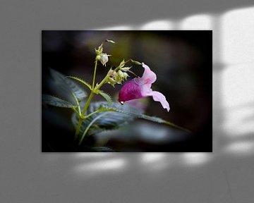 Bloem, met de naam Spring Balsemien van Ina Hölzel
