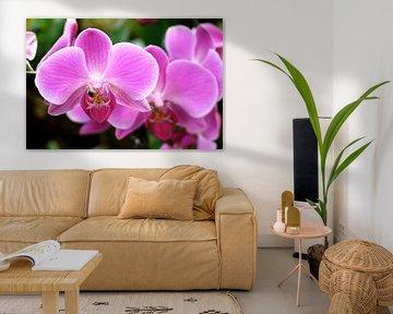 Roze Orchideeën  van Romina  Asray
