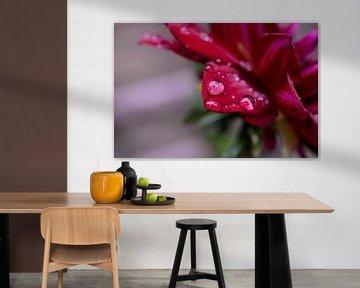 Rode Dahlia in de regen von Madelinde Maassen
