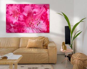 Rhododendron  van Dalex Photography