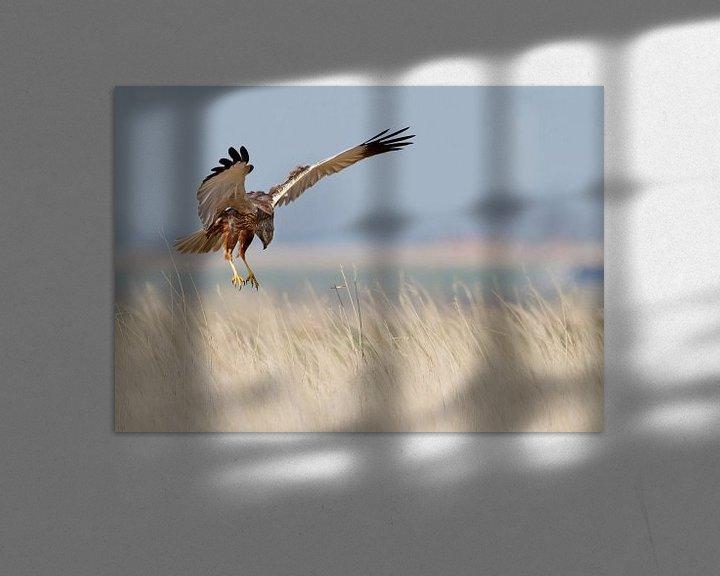 Sfeerimpressie: Bruine Kiekendief van Menno Schaefer