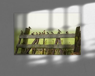 Boerenzwaluwen, Barn Swallows. van Ron Westbroek